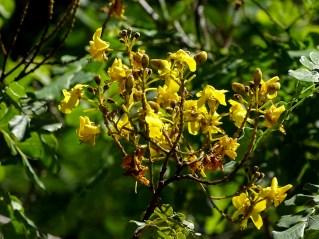 31 - Caesalpinia pyramidalis