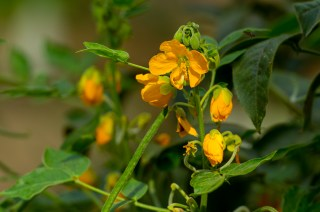 32 Senna occidentalis