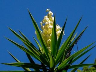 32 - Yucca aloifolia