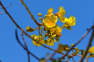 34 - Cochlospermum vitifolium