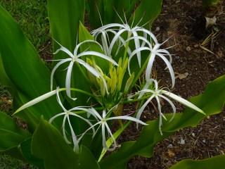 35 - Crinum asiaticum