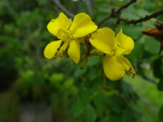 36 - Caesalpinia pyramidalis
