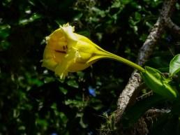 36 - Solandra paraensis