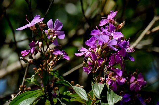 37 - Tibouchina granulosa