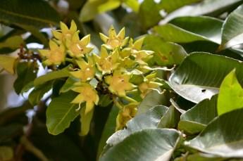 38 - Duabanga grandiflora