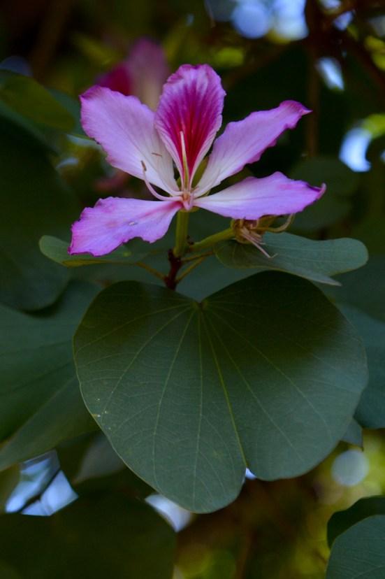 39 - Bauhinia variegata