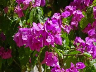 39 - Bougainvillea glabra