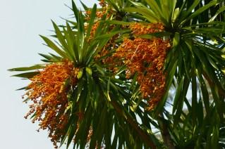 40 - Dracaena arborea