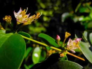 40 - Mouriri guianensis