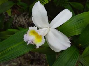 41 - Sobralia yaperensis