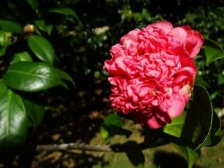 42 - Camellia japônica