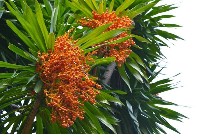 42 - Dracaena arborea
