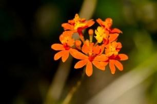44 - Epidendrum fulgens