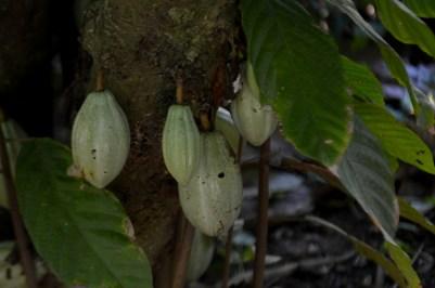 44 - Theobroma cacao