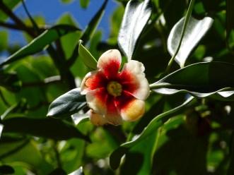 45 - Clusia lanceolata
