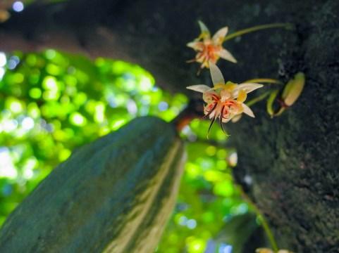 45 - Theobroma cacao 2
