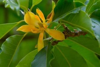 46 - Michelia champaca