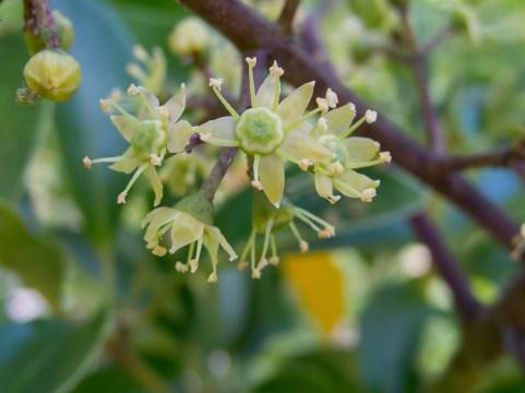 46 - Schefflera arborícola