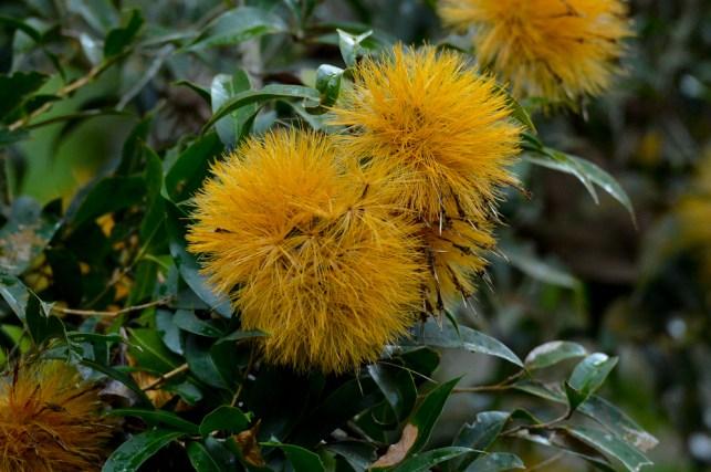 47 - Stifftia crysantha