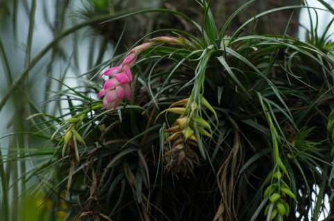 47 Tillandsia stricta