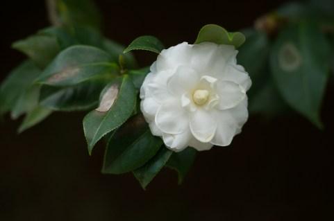 48 Camellia japonica
