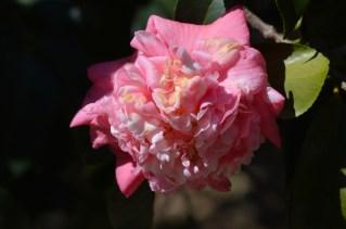 50 - Camellia japonica