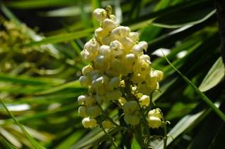 51 - Yucca aloifolia