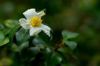 52 Camellia sinensis