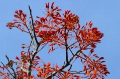 54 - Erythrina verna