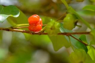 54 - Eugenia uniflora