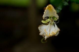 60 Camoensia maxima