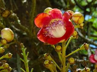 61 - Coroupita guianenses