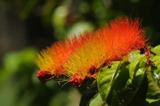 66 - Combretum rotundifolia