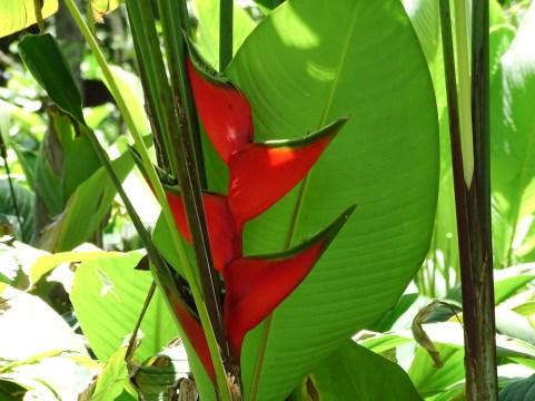 70 - Heliconia bihai