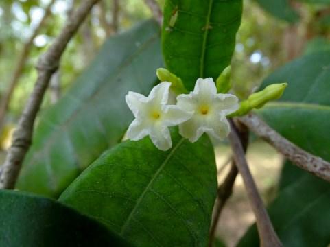 74 - Mascarenhasia arborescens
