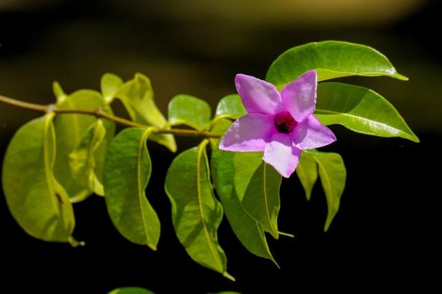 75 - Crypstotegia grandiflora