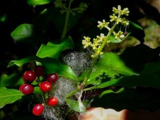 76 - Psychotria cartagenensis