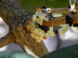 Garcinia livingstonia- 45