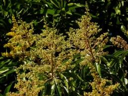 Mangifera indica- 38