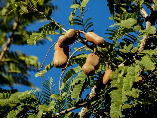 Tamarindus indica-6