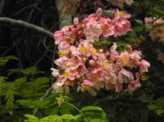 03 - Cassia javanica