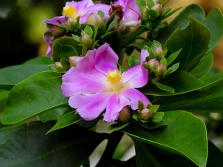 08 - Pereskia grandiflora