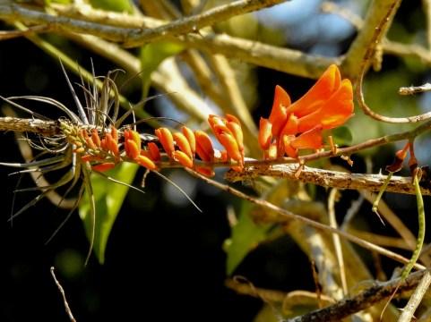 10 - Erythrina senegalensis