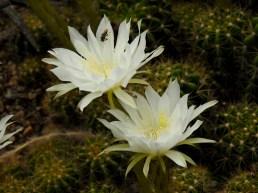 15 - Echinodorus calochnbra
