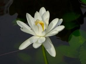 23 - Nymphaea lotus