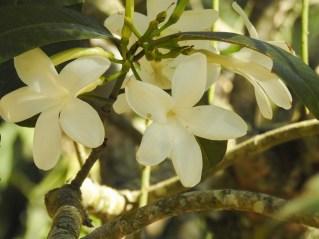 25 - Spongioperma grandifloru