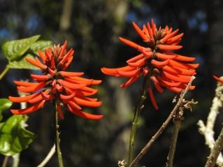 27 - Erythrina speciosa