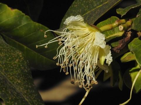 33 - Duabanga grandiflora
