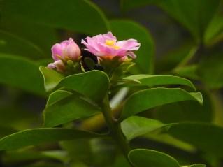 35 - Pereskia grandiflora