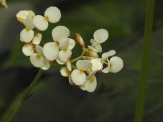 38 - Begonia reniformi